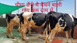Sarb Cheema dairy Farm livestock for sale animals cont 7508023218