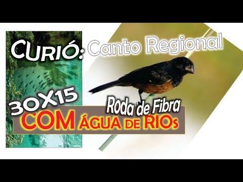 #40 Canto Do Curió Regional Roda De Fibra Com 30 Minutos De Canto 15 Minutos De Som De água De Rios