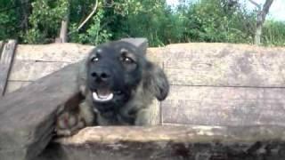 Собака в охране