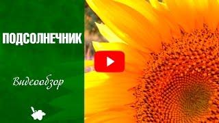 видео Декоративный подсолнух: посадка и уход, когда садить