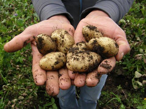 Когда копать картофель, или Как определить, что картошка уже созрела?