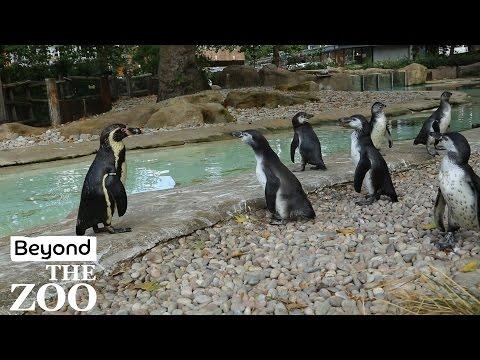 Beyond 'The Zoo' - Penguin Graduation