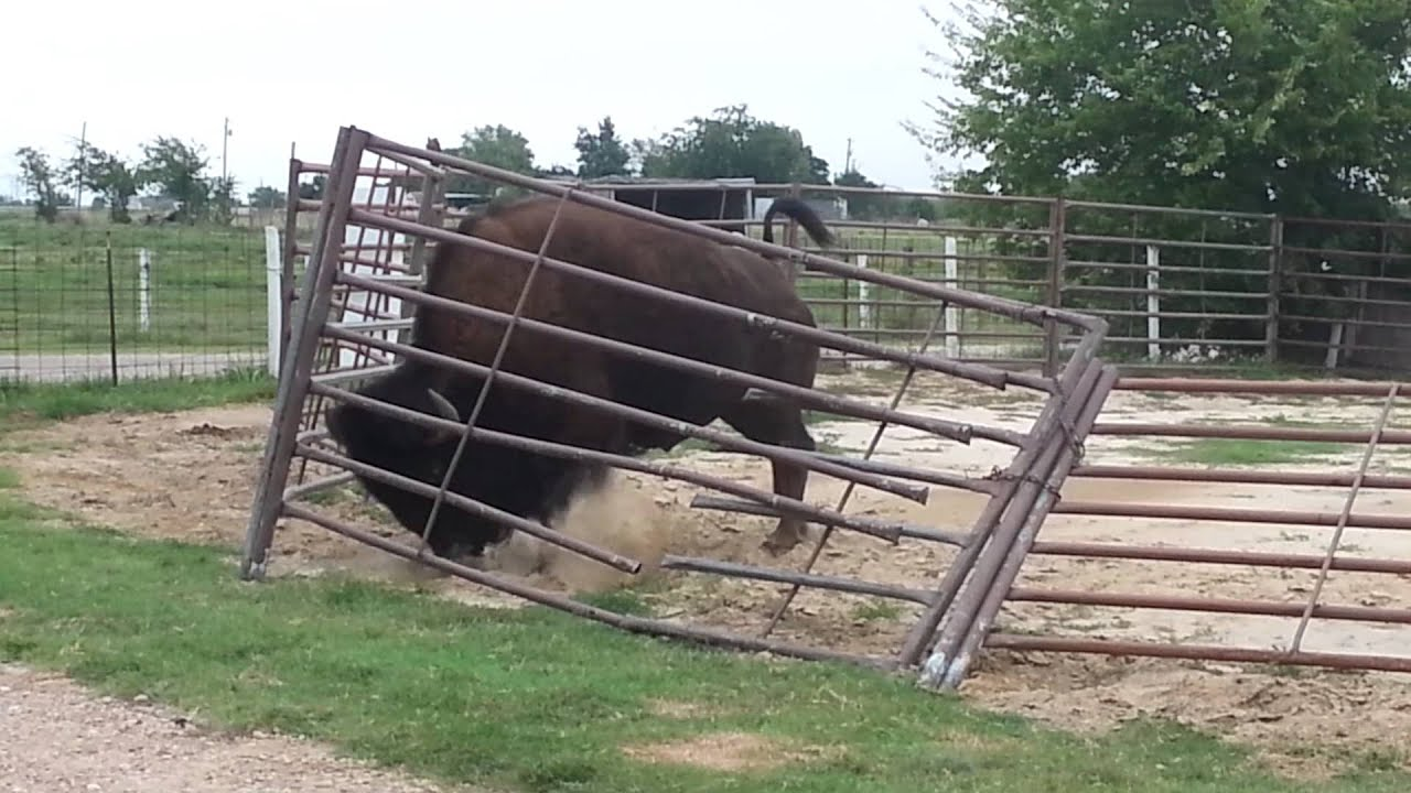 How A Bison Fixes A Fence Youtube