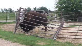how a bison fixes a fence