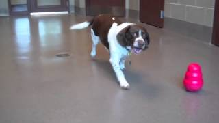 Gunner, A 7-year-old English Springer Spaniel/beagle Mix At The Wisconsin Humane Society