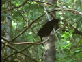 Beautiful Plumed Bird of Paradise - David Attenborough - BBC wildlife