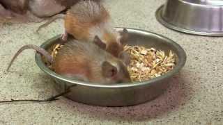 Mysz kolczasta (Acomys cahirinus) -- Zoo w Łodzi