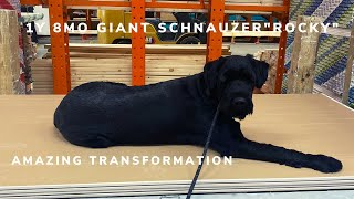 "1Y 8MO reactive Giant Schnauzer ""Rocky"" 