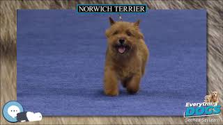 Norwich Terrier  Everything Dog Breeds