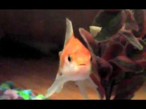 Look At Me Now, Goldfish Edition (Rapping Goldfish)