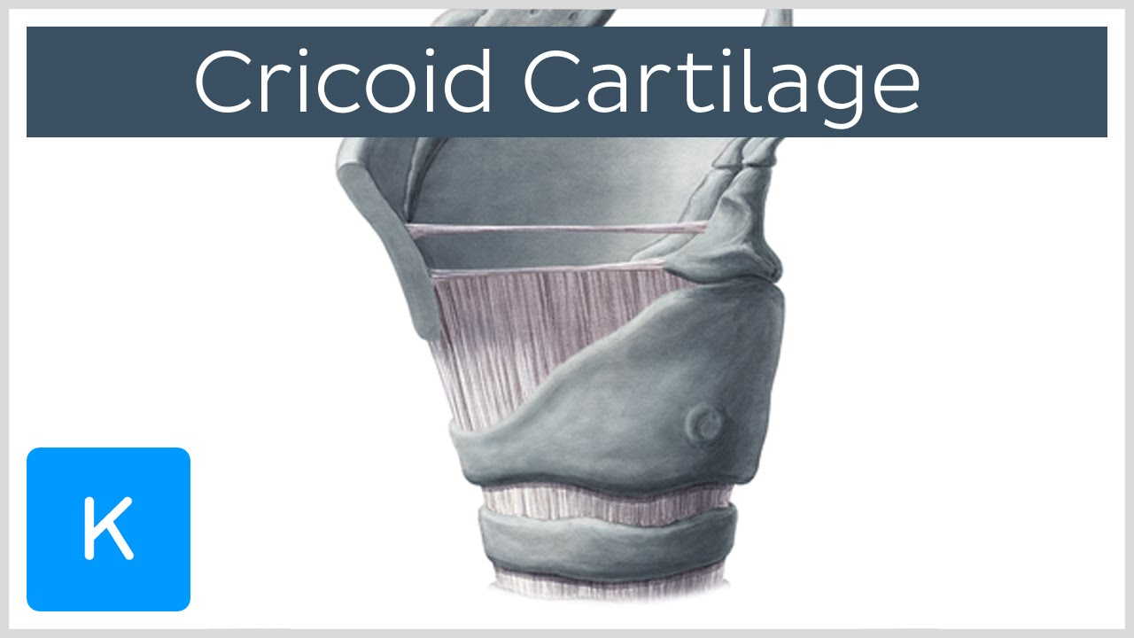 Cricoid Cartilage Function Definition Location Human Anatomy