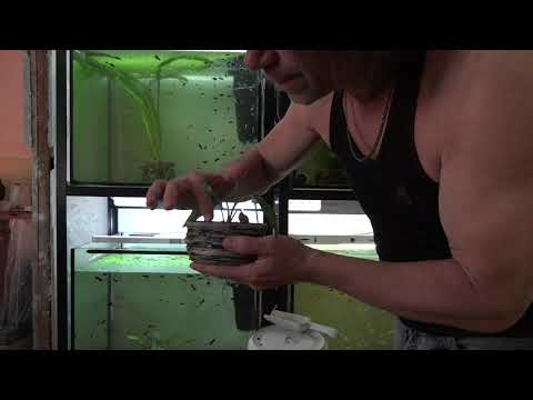 Пересаживаем криптокорину Бласса в другой аквариум