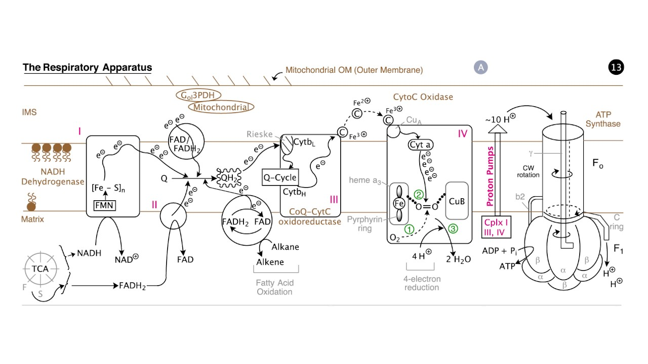 Respiration electron transport and oxidative phosphorylation respiration electron transport and oxidative phosphorylation pooptronica Choice Image