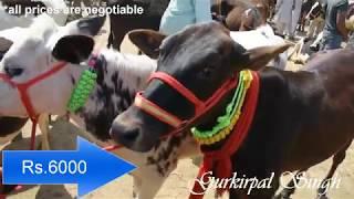 Jersey Holestine Friesian calf and heifer at Jagraon Mandi