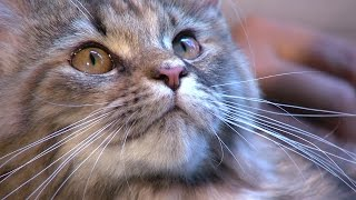 El ronroneo de los gatos - TvAgro por Juan Gonzalo Angel