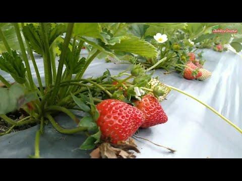petik-sendiri-wisata-kebun-strawberry