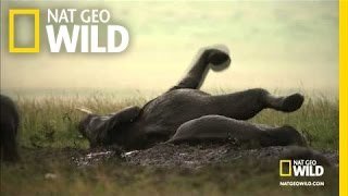 Wild Wives of Africa - Elephant Boogie Wild Wives of Africa: Killer Queen TUE NOV 1 8 et/pt : http://animals.nationalgeographic.com/wild/shows/  A family of elephants lets loose in all of nature's glory.