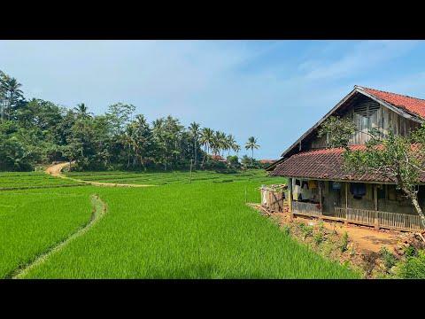 KECAPI SULING SUNDA MERDU DENGAN HAMPARAN SAWAH INDAH   Suasana Pedesaan Jawa Barat, Garut, Caringin