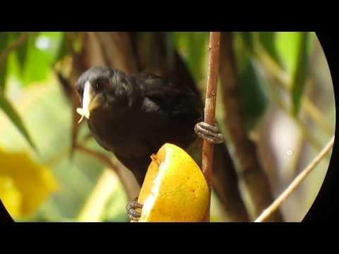 Solitary Black Cacique - Cacicus solitarius - Pantanal, Brazil