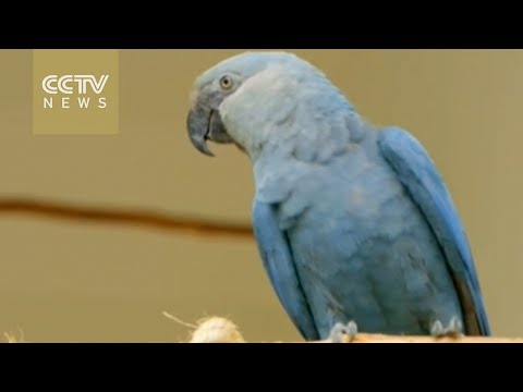 Spix parrots from movie Rio is critically endangered