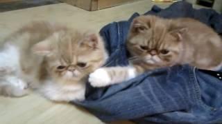 異國短毛貓 加菲貓 exotic cats , sitting and thinking