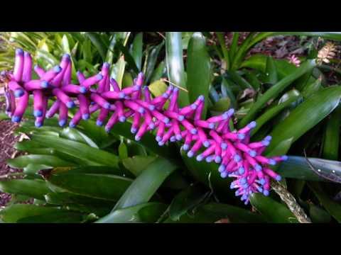 Bromeliad - Aechmea gamosepala - Matchstick Bromeliad - Top 10 Bromeliads HD 19