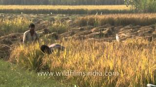 Rice cultivation in India - mid way fields along Delhi-Meerut road