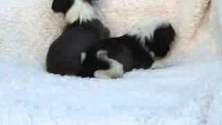 関西チャイクレ子犬販売 http://www.at-breeder.net/chinese_crested/ka...