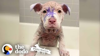 Purple Pittie Puppy Makes an INCREDIBLE Transformation | The Dodo Pittie Nation