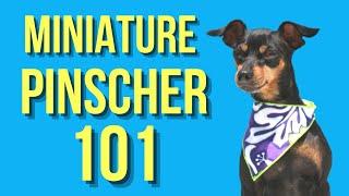 Miniature Pinscher – Dogs 101