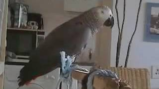 45 THE African Grey! Ruby, The Swearing Parrot  X Rated Parrot   62
