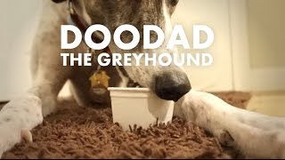Doodad Doing What Greyhounds Do