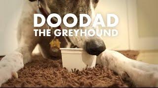 Doodad Doing What Greyhounds Do