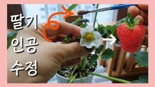 ?딸기 인공수정 방법 ?딸기 키우기 꿀팁 1탄?