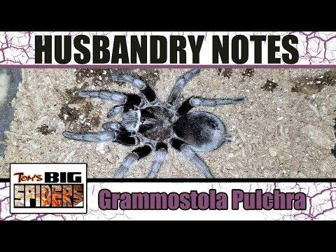 Grammostola Pulchra (Brazilian Black) Husbandry and Rehousing