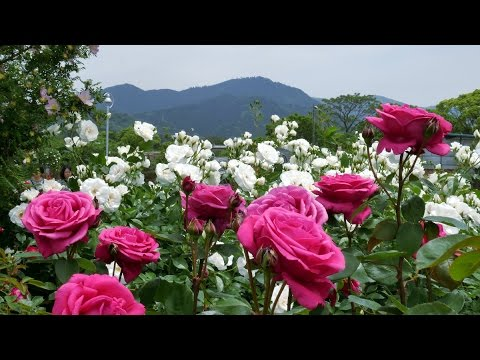 the rose garden of kayoichou park japan 4k garden rose extravaganza - Garden Rose