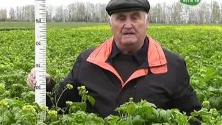 видео 3 лучших сидерата под картофель осенью