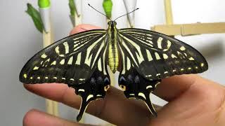 ナミアゲハの羽化の動画です。羽化って何度見ても不思議な気持ちになり...