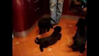 Щенки лабрадора Labrador Puppies FortDogs.ru