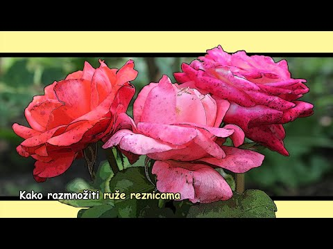 Kako razmnožiti ruže reznicama 🌹🌹✅👍