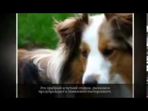 Пекинес описание породы, фото, цена щенков, отзывы