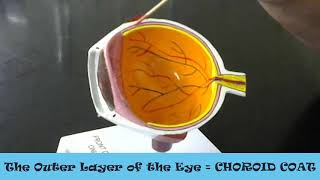 anatomy practical exam review layers of the anatomical eye model