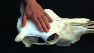 лобная кость домашних животных