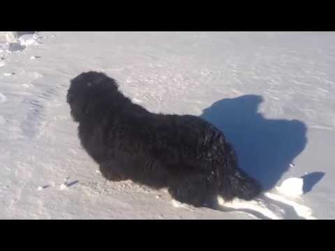 Smart Bernese Mountain Dog Finds Clever Way Through Deep Snow