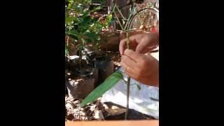 របៀបកាត់តរស្វាយ - Mango  Agriculture | How to continued Mango | continued Mango Agriculture