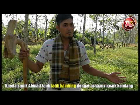 Kaedah unik Ahmad Zaidi latih kambing masuk kandang
