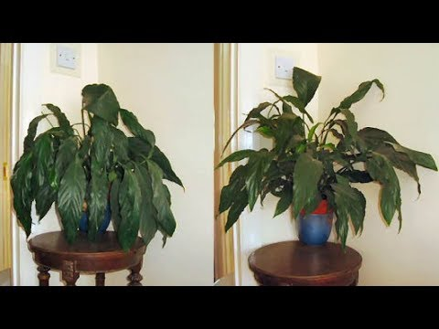 Maintaining of Peace Lilies - YouTube on peace plant care guide, aspidistra elatior cast iron plant care, prayer plant care, indoor corn plant care, dieffenbachia plant care, potted peace lily plant care, norfolk island pine indoor plant care, cat palm plant care, peace lily care in water, peace lily plant benefits, english ivy indoor plant care, lily indoor plant care, aloha lily leia plant care, calathea medallion plant care, peace lily seeds care, peace lily house plant poisonous, angel plant care, peace lily care indoors, anita bush plant care, peace lily care tips,