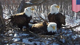 Bald eagles trio, 2 dads and a mom raise eaglets together - TomoNews