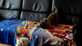West Highland White Terrier Demi En Cairn Terrier Rhana Playing