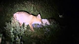 Ночь Коты против лисы